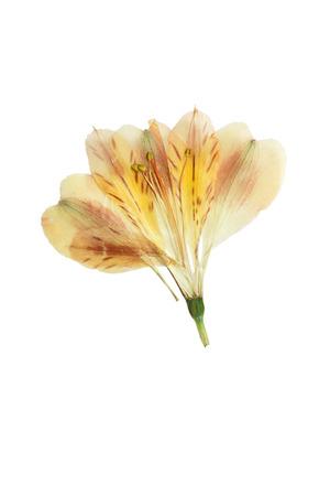 압착 및 말린 꽃 alstroemeria입니다. 흰색 배경에 고립. 스톡 콘텐츠