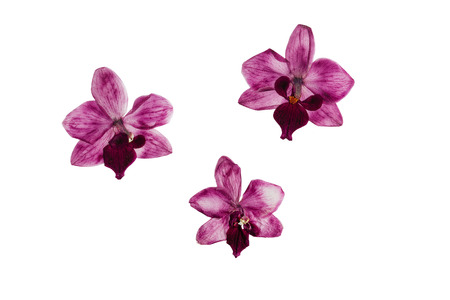 flower petal: Pressed and dried flower  orchid. Isolated on white background.