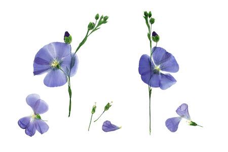 Gepresste und zarte blaue Blume Flachs getrocknet. Isoliert auf weißem Hintergrund.