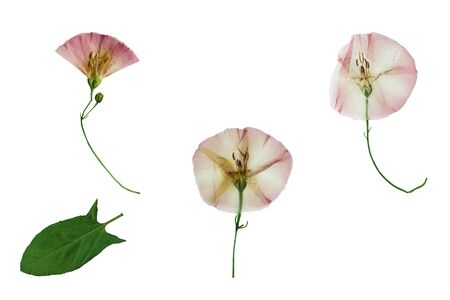 convolvulus: Pressed and dried three delicate transparent flower of bindweed. Isolated on white background.