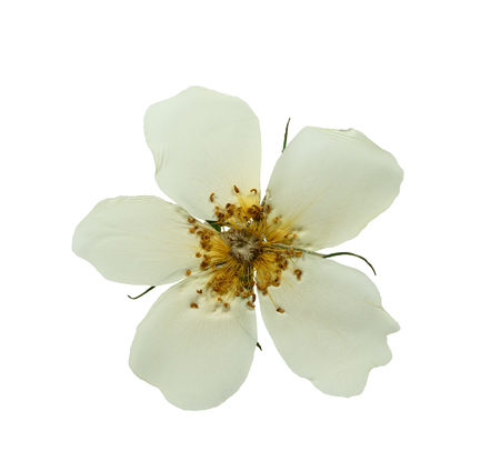 Pressed and dried white delicate transparent flower wild rose. Isolated on white background.