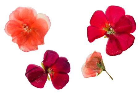 geranium color: Pressed and dried crimson-red and salmon color flowers geranium (Pelargonium). Isolated on white background.