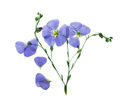 herbarium: Pressed and dried delicate blue flower flax. Isolated on white background. For use in scrapbooking, pressed floristry (oshibana) or herbarium. Stock Photo