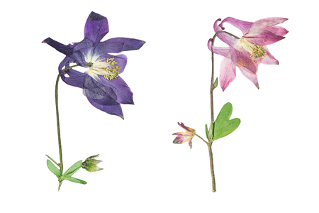 herbarium: Pressed and dried blue, pink  flowers  aquilegia vulgaris. Isolated on white background. For use in scrapbooking, pressed floristry (oshibana) or herbarium.
