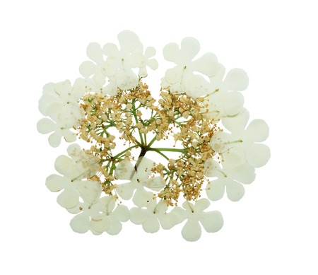 floristry: Pressed and dried delicate flower viburnum. Isolated on white background. For use in scrapbooking, pressed floristry (oshibana) or herbarium. Stock Photo
