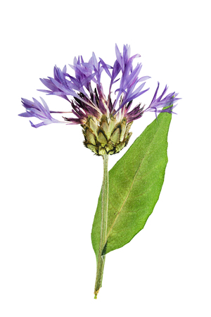 Pressed and dried flower  cornflower on stem with green leaves.  Isolated on white background. For use in scrapbooking, pressed floristry (oshibana) or herbarium.