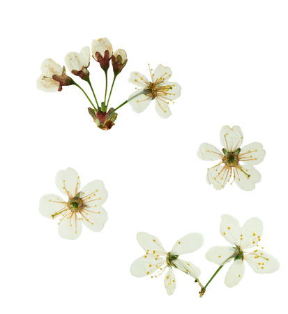 cherrytree: Pressed and dried flower  cherry-tree. Isolated on white background. For use in scrapbooking, pressed floristry (oshibana) or herbarium.