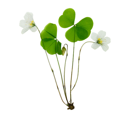 oxalis: Pressed and dried delicate flower oxalis. Isolated on white background. For use in scrapbooking, pressed floristry (oshibana) or herbarium.