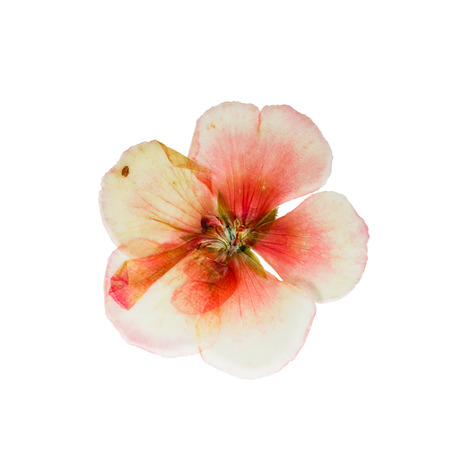 geranium color: Pressed and dried delicate salmon color geranium flower. Isolated on white background. For use in scrapbooking, pressed floristry (oshibana) or herbarium.