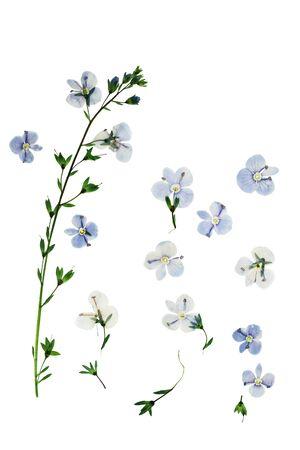 프레스 및 말린 꽃 베로니카의 officinalis. 흰색 배경에 고립. 스크랩북에 사용하기 위해, 플로리스트 리 (oshibana) 또는 식물 표본관을 눌렀습니다.