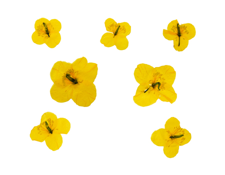 floristry: Set of pressed and dried yellow flowers celandine. Isolated on white background. For use in scrapbooking, pressed floristry (oshibana) or herbarium. Stock Photo