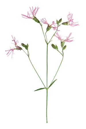 Gepresste und getrocknete Blume Kuckucks-Lichtnelken oder Kuckucks-Lichtnelke. Isoliert auf weißem Hintergrund. Für den Einsatz in Scrapbooking, gedrückt Floristik (oshibana) oder Herbarium.