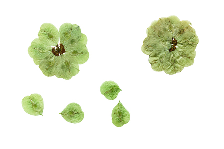 floristry: Pressed and dried flowers elm. Isolated on white background. For use in scrapbooking, floristry (oshibana) or herbarium.