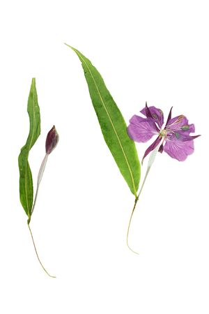 flower petal: Pressed and dried flower willow-herb (epilobium). Isolated on white background. For use in scrapbooking, floristry (oshibana) or herbarium.