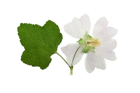 floristry: Pressed and dried flower mallow (malva) with green carved leaf. Isolated on white background. For use in scrapbooking, floristry (oshibana) or herbarium.