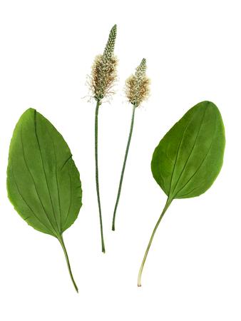 꽃과 잎 plantago (psyllium)의 집합을 누르고 마른. 흰색 배경에 고립. scrapbooking, floristry (oshibana) 또는 식물 표본 상자에서 사용하기 위해