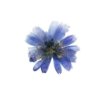 Geperst en gedroogd delicate transparante blauwe bloemen cichorei of Cichorium. Geïsoleerd op een witte achtergrond. Voor gebruik in het scrapbooking, bloemisterij (oshibana) of herbarium. Stockfoto