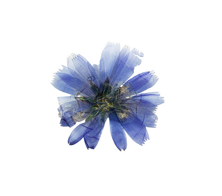 herbarium: Pressed and dried delicate transparent blue flowers chicory or cichorium. Isolated on white background. For use in scrapbooking, floristry (oshibana) or herbarium.