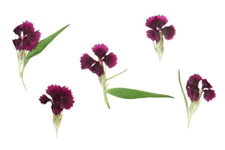 magenta flowers: Pressed and dried set magenta flowers sweet-william (dianthus barbatus), isolated on a white background. For use in scrapbooking, floristry (oshibana) or herbarium.