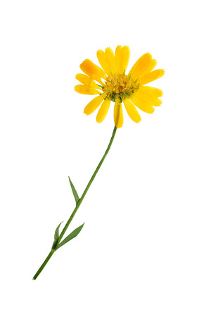 Pressed and dried delicate flowers of calendula officinalis (marigold). Isolated on white background. For use in scrapbooking, floristry (oshibana) or herbarium.