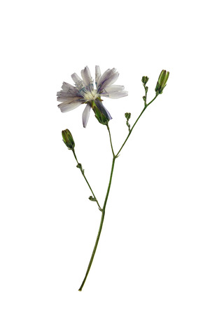 lactuca: Pressed and dried delicate flower lactuca (lactuca perennis, mountain lettuce or blue lettuce) on stem. Isolated on white background. For use in scrapbooking, floristry (oshibana) or herbarium.