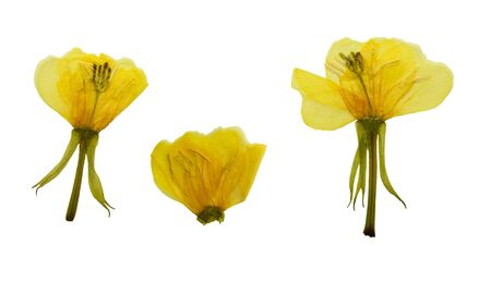 oenothera biennis: Pressed and dried flowers evening primrose (Oenothera biennis). Isolated on white background. For use in scrapbooking, pressed floristry (oshibana) or herbarium.