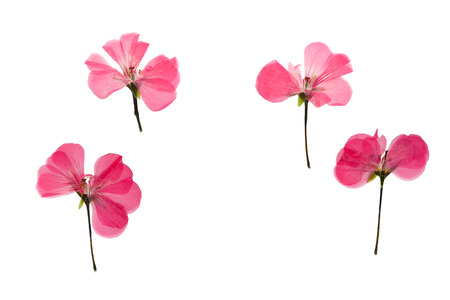 flower petal: Pressed and dried pink delicate transparent flowers geranium (pelargonium). Isolated on white background. For use in scrapbooking, floristry (oshibana) or herbarium.