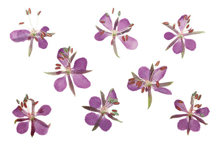 floristry: Pressed and dried delicate purple flowers willow-herb (epilobium). Isolated on white background. For use in scrapbooking, floristry (oshibana) or herbarium.