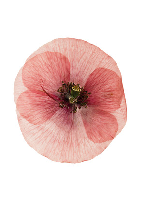 Pressed and dried flower poppy. Isolated on white background. For use in scrapbooking, floristry (oshibana) or herbarium.