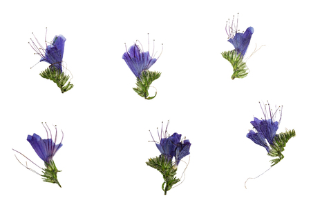 echium: Set of pressed and dried blue flowers echium vulgare, isolated on a white background. For use in scrapbooking, floristry (oshibana) or herbarium.