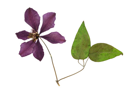 Pressed and dried flower clematis with green leaves. Isolated on white background. For use in scrapbooking, floristry (oshibana) or herbarium.