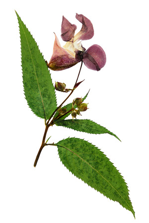 floristry: Pressed and dried delicate lilac flowers impatiens glandulifera (Himalayan Balsam). Isolated on white background. For use in scrapbooking, pressed floristry (oshibana) or herbarium.