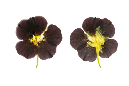 Pressed and dried delicate purple colored flowers nasturtium (tropaeolum). Isolated on white background. For use in scrapbooking, floristry (oshibana) or herbarium.