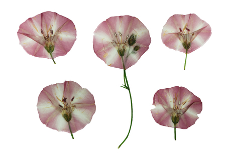 floristry: Pressed and dried delicate transparent flowers of bindweed. Isolated on white background. For use in scrapbooking, floristry (oshibana) or herbarium. Stock Photo