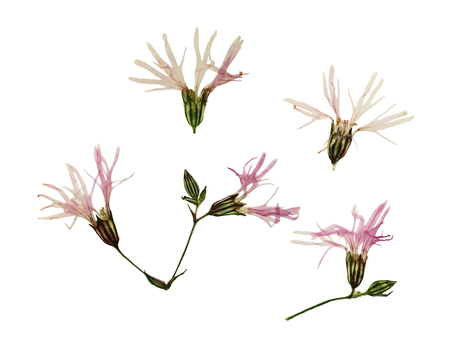 Pressed and dried flowers ragged robin or lychnis flos-cuculi. Isolated on white background. For use in scrapbooking, floristry (oshibana) or herbarium. Stock Photo