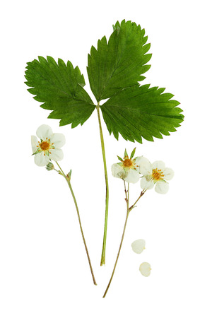 Pressed and dried flowers strawberry with green leaves. Isolated on white background. For use in scrapbooking, floristry (oshibana) or herbarium. Stock Photo
