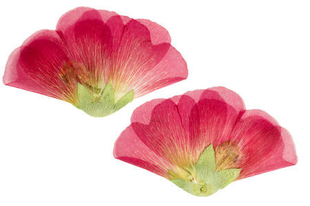Pressed and dried scarlet flower mallow (malva). Isolated on white background. For use in scrapbooking, floristry (oshibana) or herbarium. Stock Photo