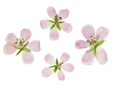 cranesbill: Pressed and dried flowers siberian geranium (geranium sibiricum). Isolated on white background. For use in scrapbooking, floristry (oshibana) or herbarium.