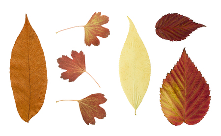 floristry: Dry bright autumn leaves isolated on white background. For use in scrapbooking, pressed floristry (oshibana) or herbarium. Stock Photo