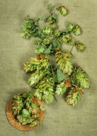 herbal cosmetics: Wild hop. Dried herbs for use in alternative medicine, spa, herbal cosmetics, herbal medicine, preparing infusions, decoctions, tinctures, powders, ointments, butter, tea, bath.