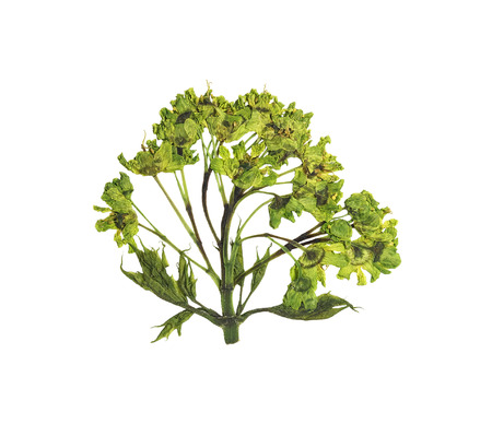 floristry: Pressed and dried flower  tree maple. Isolated on white background. For use in scrapbooking, floristry (oshibana) or herbarium. Stock Photo