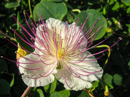 caper: White caper flower close-up with purple stamens.