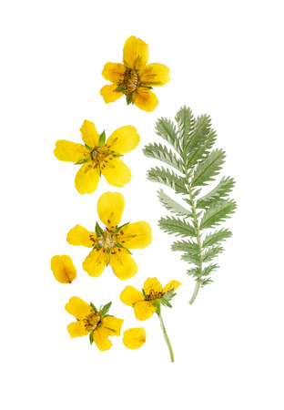 Pressed and dried flower and green carved leaves potentilla anserina isolated on white background.For use in scrapbooking, floristry (oshibana) or herbarium.