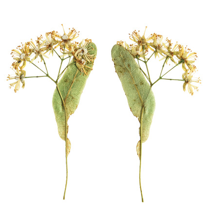 Pressed and dried flower  Linden  photographed from the front and the back side flower. Isolated on white background. For use in scrapbooking, pressed floristry (oshibana) or herbarium.