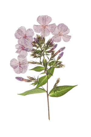 Pressed and dried delicate flowers phlox. Isolated on white background. . For use in scrapbooking, floristry (oshibana) or herbarium. 스톡 콘텐츠