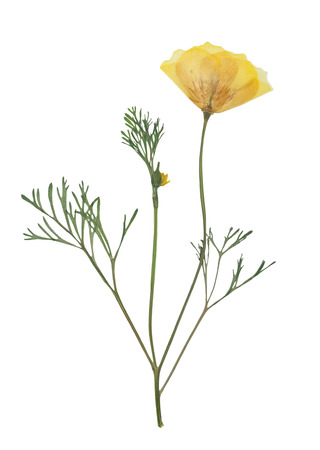 Pressed and dried delicate yellow flowers eschscholzia (eschscholzia Californica, California poppy). Isolated on white background. For use in scrapbooking, floristry (oshibana) or herbarium. Reklamní fotografie