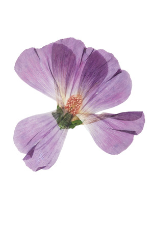 Pressed and dried pink flower mallow (malva). Isolated on white background. For use in scrapbooking, floristry (oshibana) or herbarium.