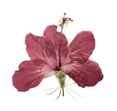 Pressed and dried flower hibiscus isolated on white background. For use in scrapbooking, floristry (oshibana) or herbarium.