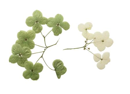 押された状態と乾燥の花アジサイ。白い背景上に分離。スクラップブッ キング、フローリスト (押花) または標本に使用できます。
