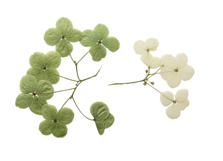 Pressed and dried flower hydrangea. Isolated on white background. For use in scrapbooking, floristry (oshibana) or herbarium.